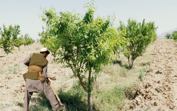 Almond orchard established in Gurbuz district of Khost