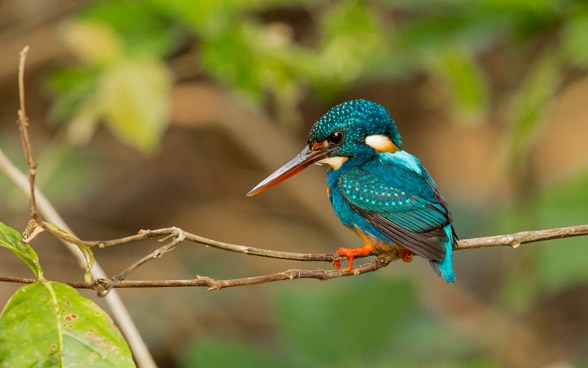 An Indigo-banded Kingfisher by Lorenzo Barelli