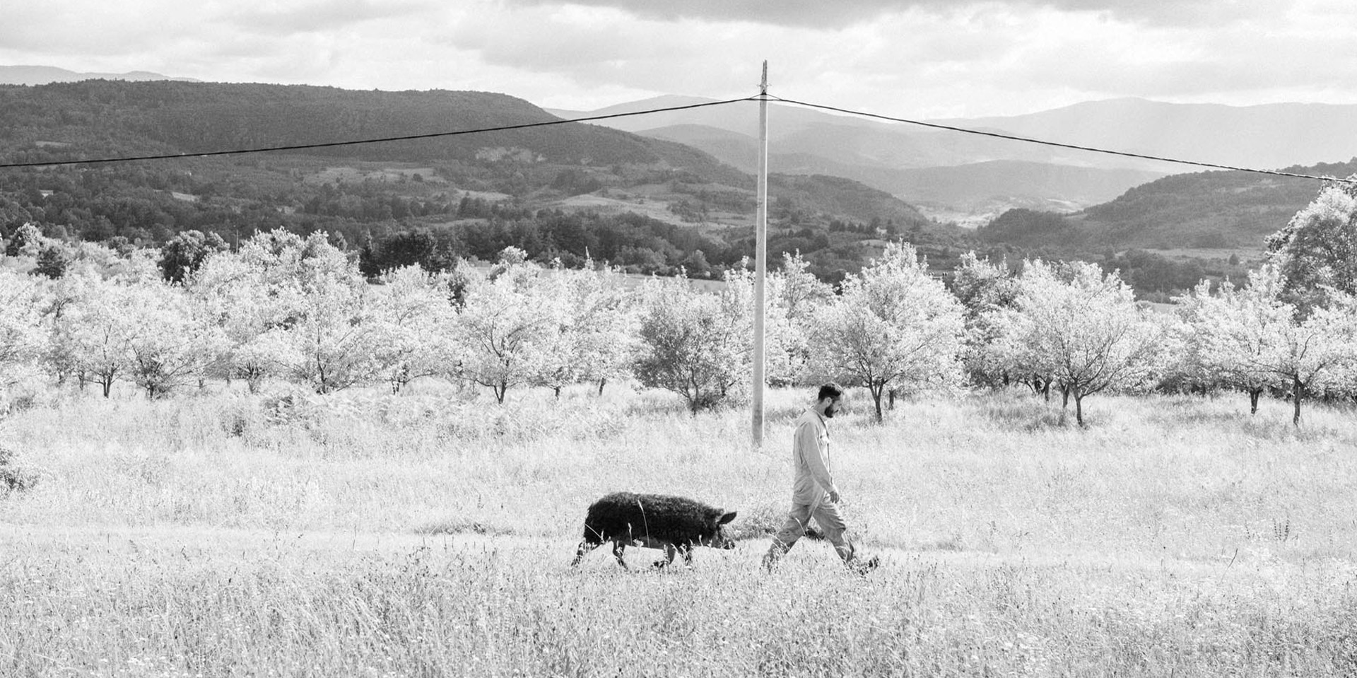 A man walks across scrubland followed by a truffle hog.