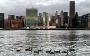 Ducks swimming on the East River against the Manhattan skyline.