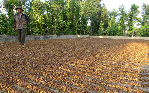 A Vietnamese farmer is keeping watch on coffee beans spread out in many rows on the ground to dry in the sun.
