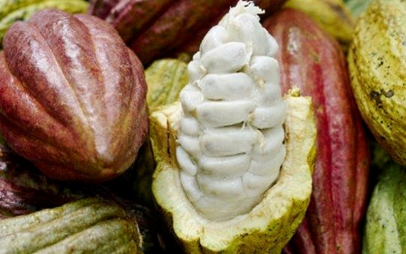 A pod has been opened, revealing the cacao beans.
