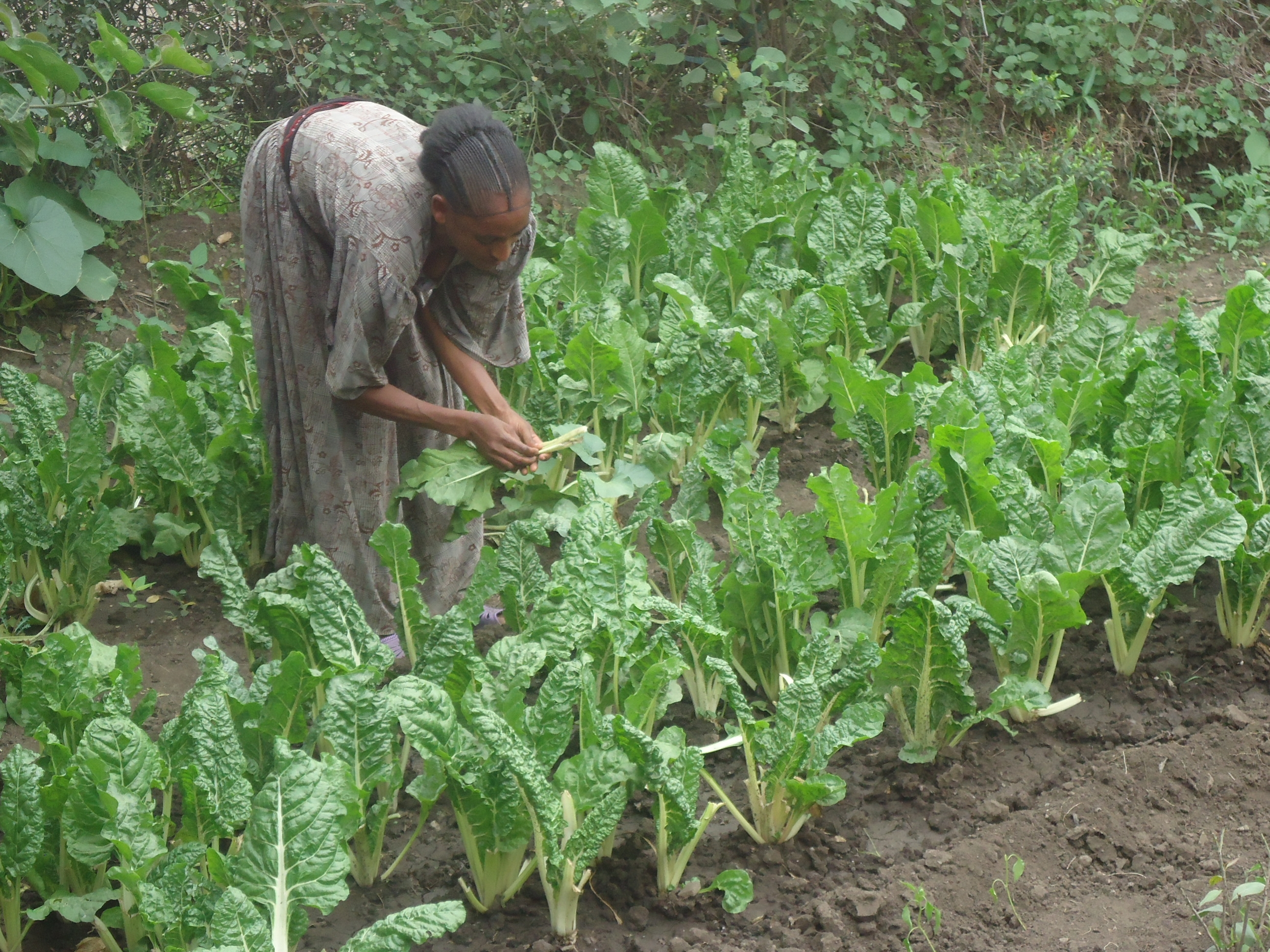 A woman picking vegetables in her vegetable plot